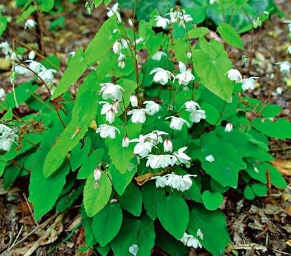 Nghiên cứu lâm sàng tác dụng tăng đáp ứng miễn dịch của cây Dâm dương hoắc